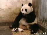 Funny Panda - Wait For It!