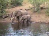 Crocodile Attacks Elephant