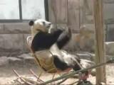 Frustrated Schwarzenegger Panda