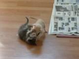 Kitten Wrestling Turns Ugly