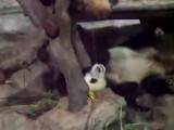Panda Wake Up Call