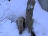 Red Panda Playing In Snow