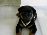 Rottweiler Puppy With Hiccups