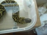My Female Yellow Anaconda