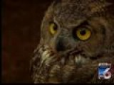 Creature Feature: Great Horned Owl And Baby Screech Owl