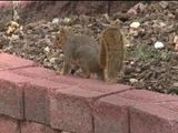 Squirrel Blamed For Longmont Car Fire