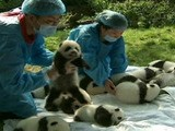 A Dozen Newborn Pandas Shown To Public In Chengdu