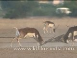Black Bucks Fighting In Tal Chappar Wildlife Sanctuary