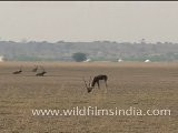 Black Buck In Tal Chappar Wildlife Sanctuary