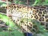 Breakdancing Leopard + Vote For Big Cat Rescue!