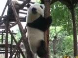 PANDA PAIR TO MACAO