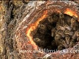 Himalayan Rock Bees