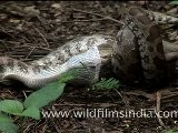 Indian Python Strangling A Rat!