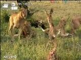 Lions Morbid Flash Mob Caught On Tape !