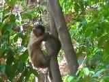 Macaco-prego, O Mais Inteligente Das Am&eacute Ricas