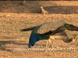 Peafowl In Dhawa Doli Wildlife Sanctuary