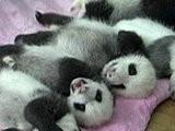 NBC TODAY Show Panda Cubs Cuddle For Public Debut
