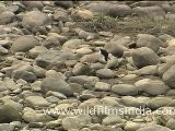 Spurwing Lapwing In Jim Corbett National Park,Uttrakhand
