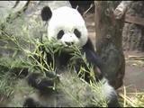 See Panda And Polar Bears In The San Diego Zoo, California