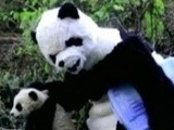 Weird News Scientists Don Panda Costumes To Treat Cubs