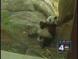Zoo' S Giant Panda Will Not Give Birth
